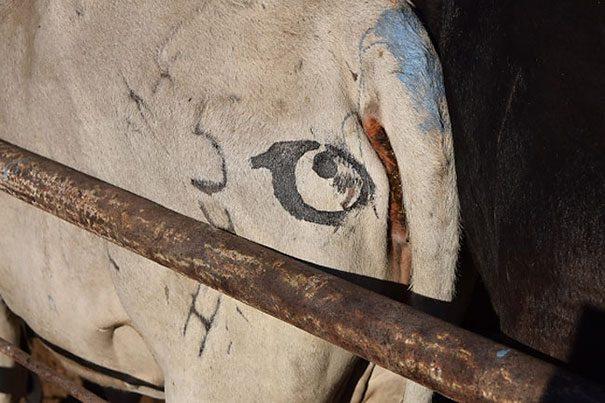 עיניים על עכוזי פרות