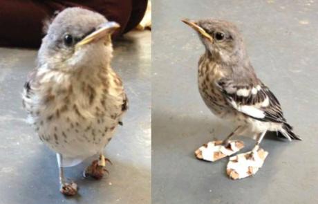 ציפור זכתה בכפכפים מקרטון שיעזרו לה ללכת