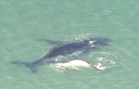 גור לוויתנים תועד דוחף את אמו לאחר שנתקעה במים רדודים