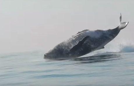 לווייתן גדול סנפיר צולם מזנק בשלמותו מחוץ למים בסרטון מדהים שהפך ויראלי