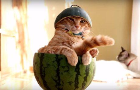 סרטון של חתול קול באבטיח הוא המבשר הרשמי של סוף הקיץ