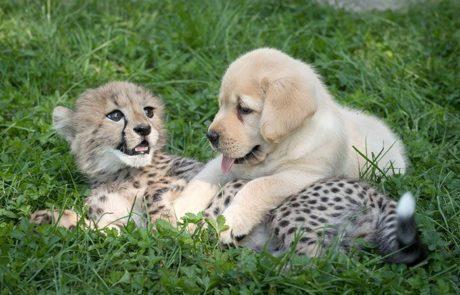 """ברדלסים הם כה ביישנים שגני חיות החליטו לסייע להם עם """"כלבי תמיכה רגשית"""""""